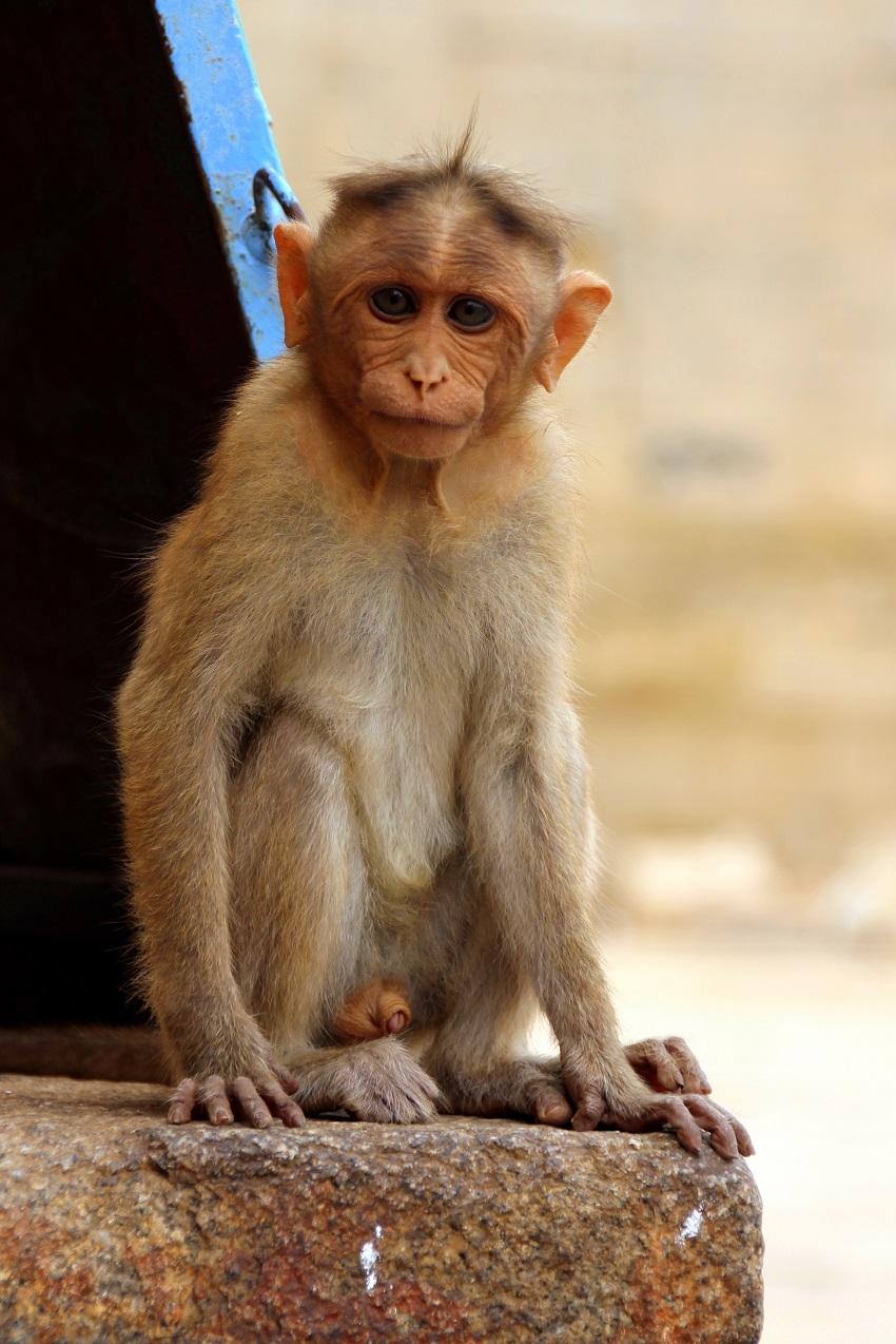 Sitzender Affe Indien Bild