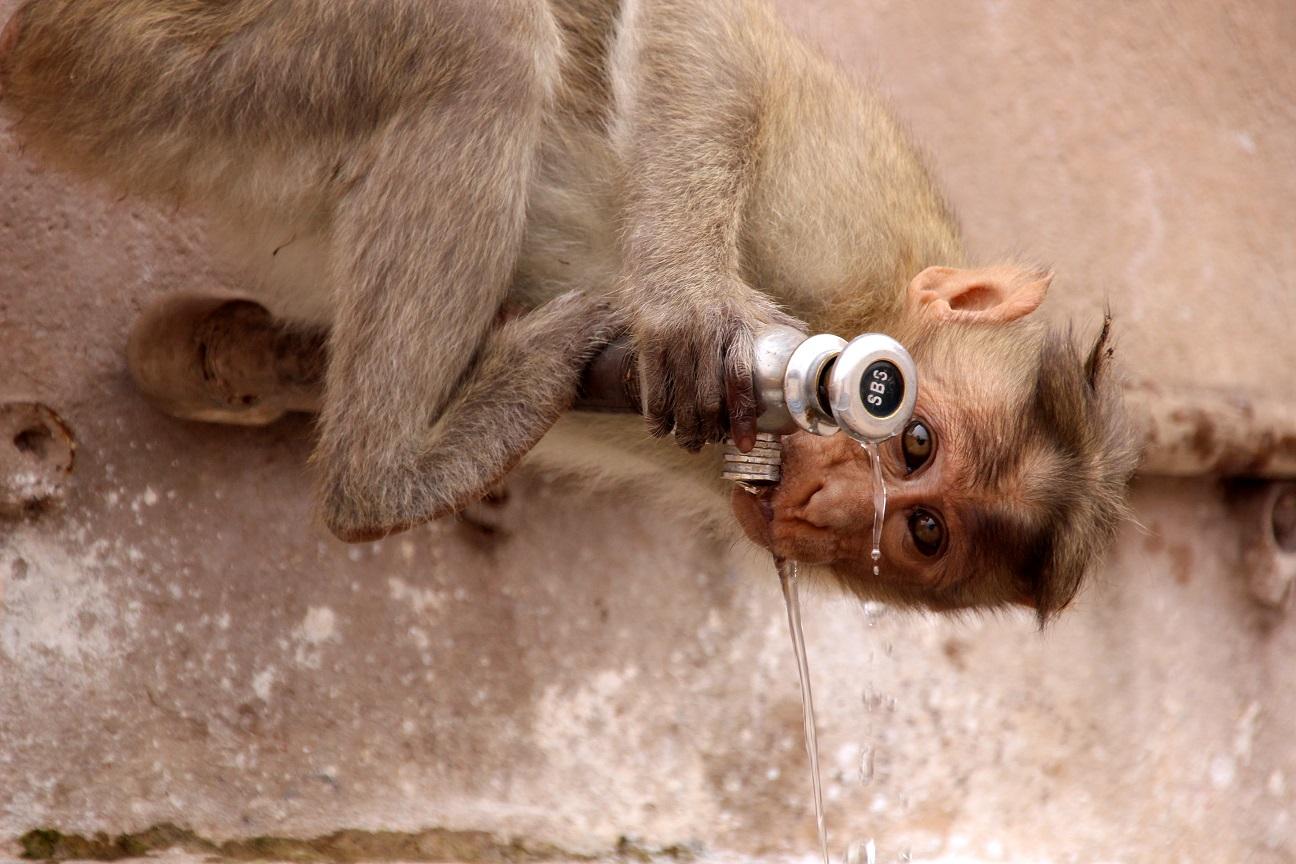 Trinkender Affe Indien Bild